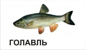 golavl