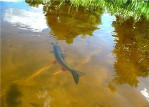 golavl in water