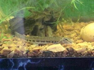 голец в аквариуме
