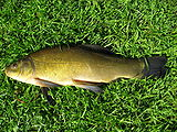 линь-рыба